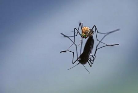 комар пискун обыкновенный