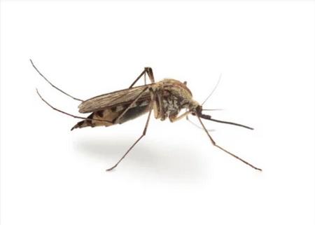 комар пискун culex pipiens