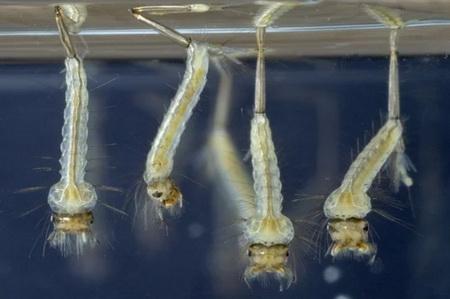 личинки комара